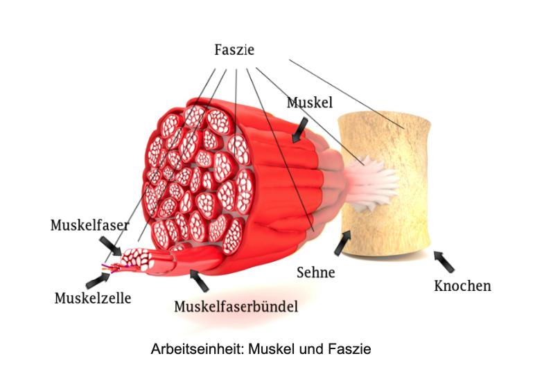 Muskel und Faszie - Sportler Physiotherapie Frankfurt
